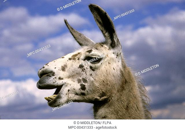Llama (Lama glama), native to South America