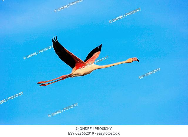 Flying Greater Flamingo, Phoenicopterus ruber, pink big bird