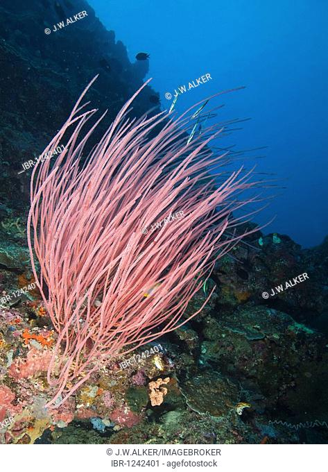 Whip coral (Ellisella ceratophyta), Indonesia