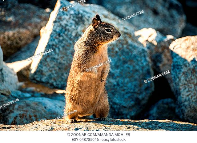 sweet curious california ground squirrel standing upright, animal in california
