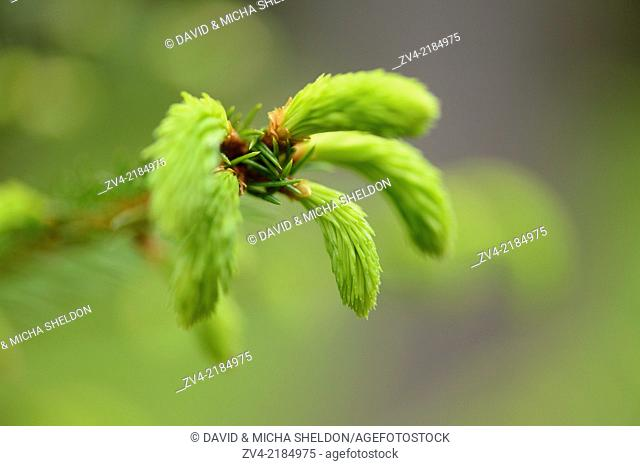 Close-up of a Norway spruce (Picea abies) shoots in a forest in spring