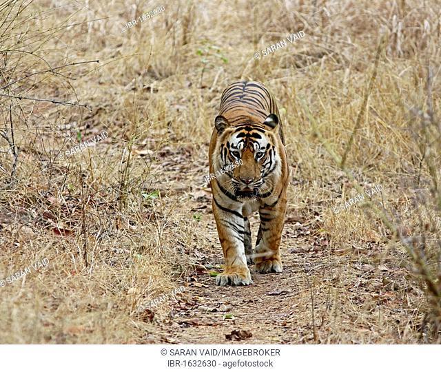 Tiger (Panthera tigris), walking on jungle road, Bandhavgarh National Park, Madhya Pradesh, India, Asia