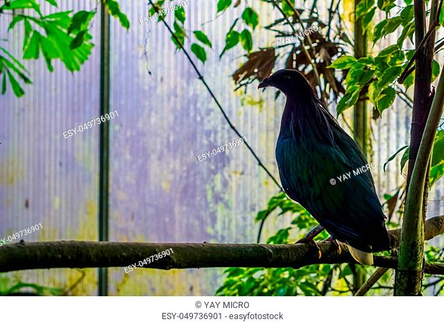 Nicobar pigeon sitting on a branch in the aviary, Tropical bird from the nicobar islands