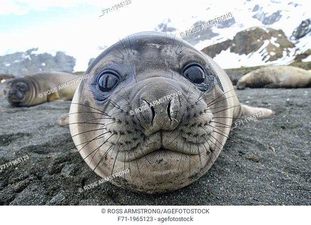 Juvenile southern elephant seal (Mirounga leonina). Gold Harobour, South Georgia Island