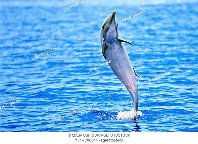 pantropical spotted dolphin, Stenella attenuata, female juvenile, jumping to shake off remora on her back, offshore, Kona Coast, Big Island, Hawaii, USA
