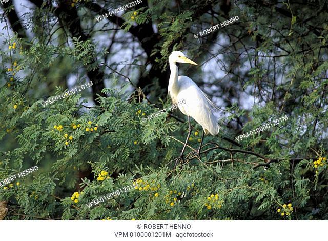 ARDEA ALBA - CASMERODIUS ALBUS - EGRETTA ALBAGREAT EGRET - COMMON EGRET - GREAT WHITE EGRETIN TREEBHARATPUR - INDIA