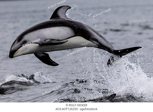 Pacific-white-sided dolphin (Lagenorhynchus obliquidens) jumping in Thompson Sound, along the Great Bear Rainforest, British Columbia coast