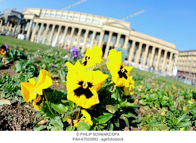 Blooming pansies in sunny weather on the Schlossplatz (lit. Castle Square) in Stuttgart, Germany, 09 March 2016. Photo:PHILIPSCHWARZ/dpa | usage worldwide