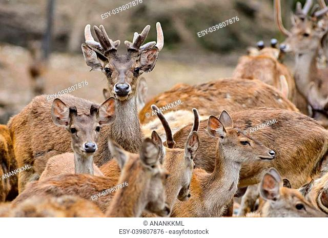 group of male and female rusa deer