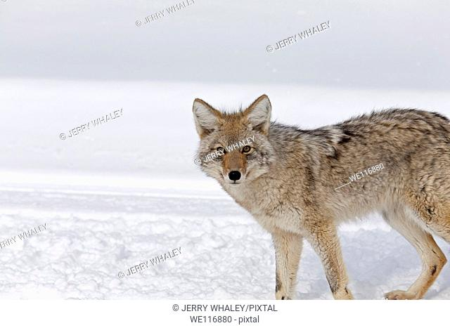 Coyote, Winter, Yellowstone NP, WY