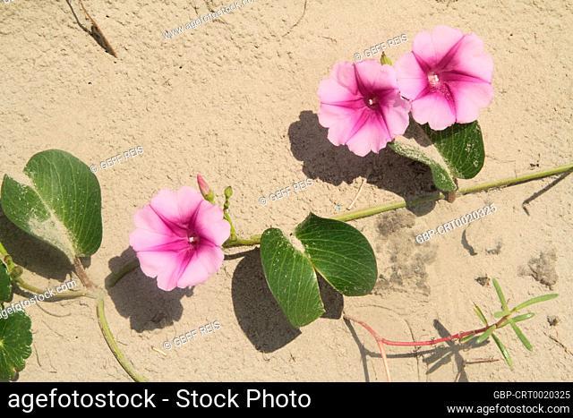 Ipomoea pes-caprae Sweet, Beach Morning Glory, Ipomoea Pes-caprae, Calystegia soldanella, Peruibe, São Paulo, Brazil