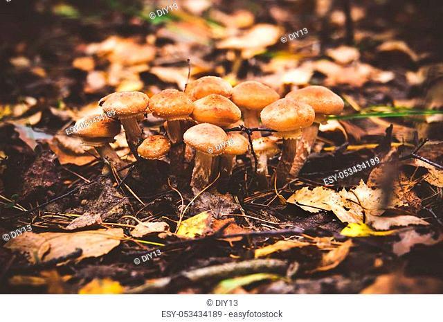 Cluster of Honey Fungus Armillaria autumn, Armillaria mellea