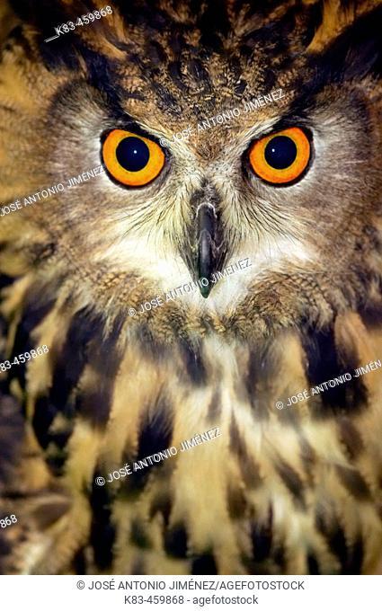 Retrato de Buo Real, bubo bubo (Eagle Owl)