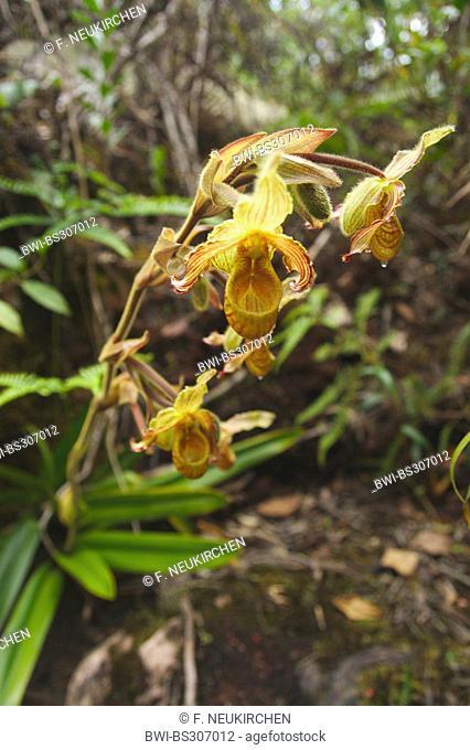 ladyslipper (Phragmipedium lindleyanum), blooming, Venezuela, Canaima National Park, Roraima Tepui