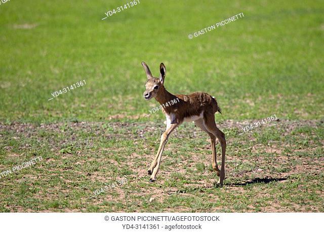 Springbok (Antidorcas marsupialis) - Lamb, Kgalagadi Transfrontier Park in rainy season, Kalahari Desert, South Africa/Botswana.