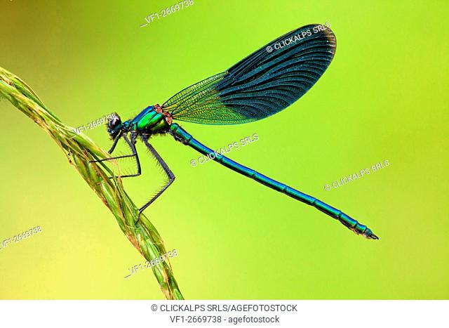 Calopteryx splendens male on ear