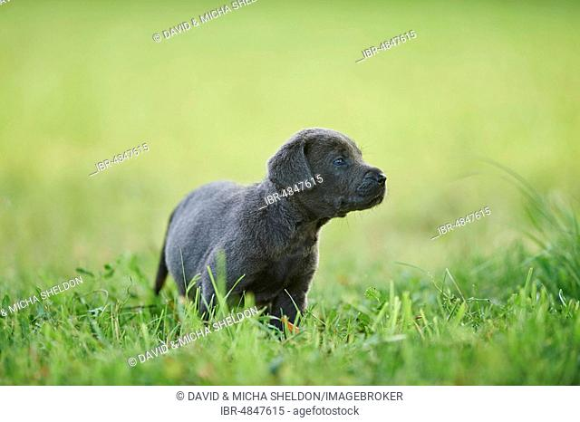 Black Labrador Retriever, pup on a meadow looking curious, Germany