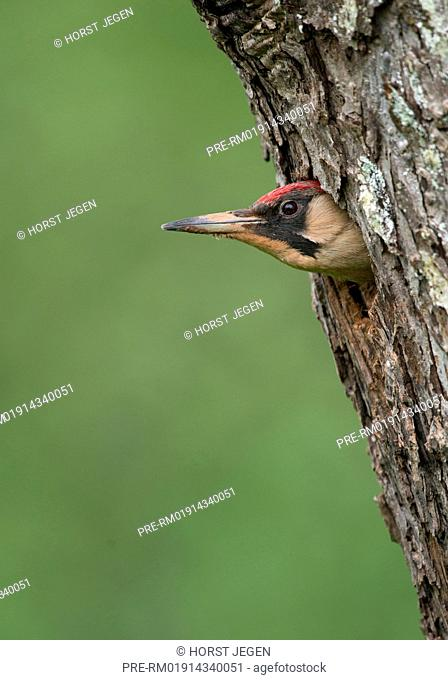 European Green Woodpecker in a nesting hole, Picus viridis, Germany, Europe / Grünspecht an Nisthöhle, Picus viridis, Deutschland, Europa