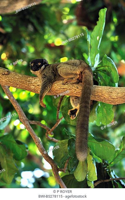 black lemur Eulemur macaco macaco, Lemur macaco macaco, lying on a branch, Madagascar, Nosy Tanikely Naturpark