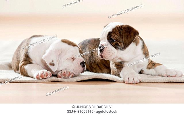 Continental Bulldog. Two puppies dozing and sleeping on a rug. Germanyn