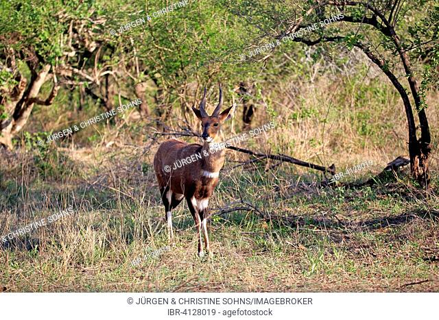 Bushbuck (Tragelaphus scriptus sylvaticus), adult male, Kruger National Park, South Africa