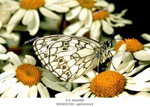 marbled white (Melanargia galathea), imago on daisies, Germany