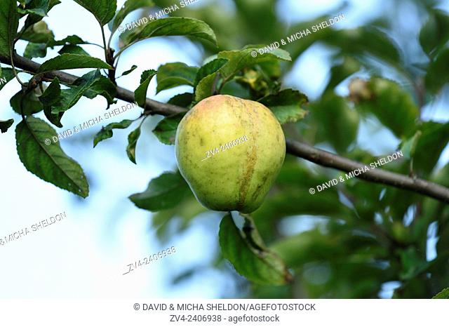 Close-up of an apple hanging on a branch in a garden in summer