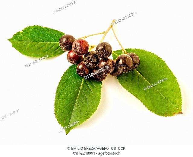 Purple chokeberries. Aronia prunifolia