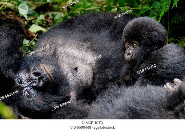 Mother and baby MOUNTAIN GORILLAS (Gorilla beringei beringei) of the KWITONDA GROUP in VOLCANOES NATIONAL PARK - RWANDA, AFRICA - Africa, 11/03/2007