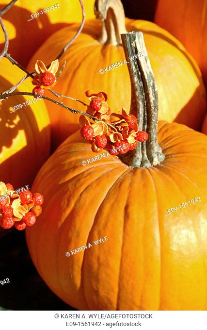 pumpkins with long stems in sunlight, with spray of decorative red berries, farmers' market