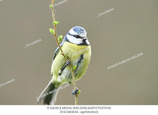 Close-up of a Eurasian blue tit (Cyanistes caeruleus or Parus caeruleus) in early spring