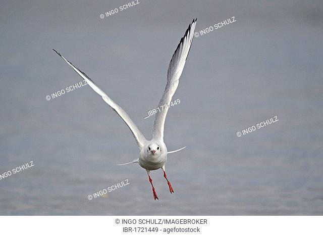 Black-headed gull (Larus ridibundus), starting from water