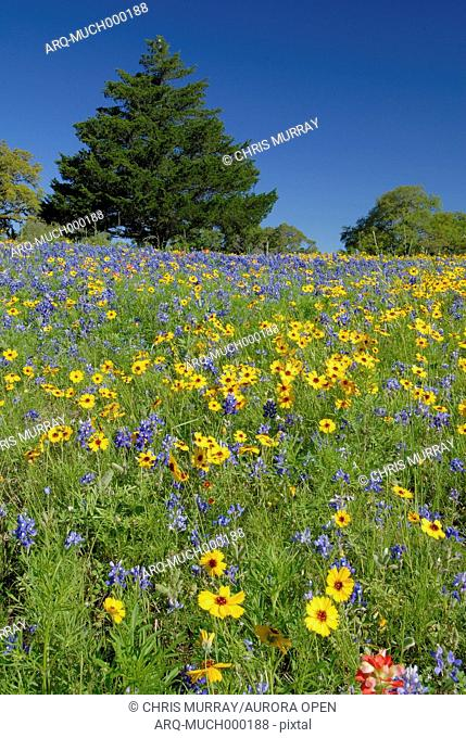 Bluebonnets and coreopsis
