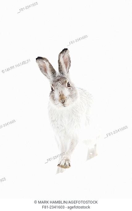 Mountain Hare (Lepus timidus) adult in white winter coat standing on snow