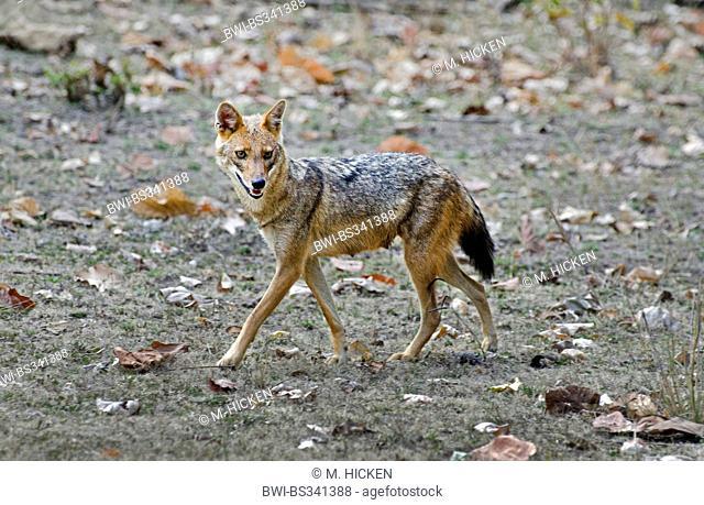 golden jackal (Canis aureus), female, India, Madhya Pradesh