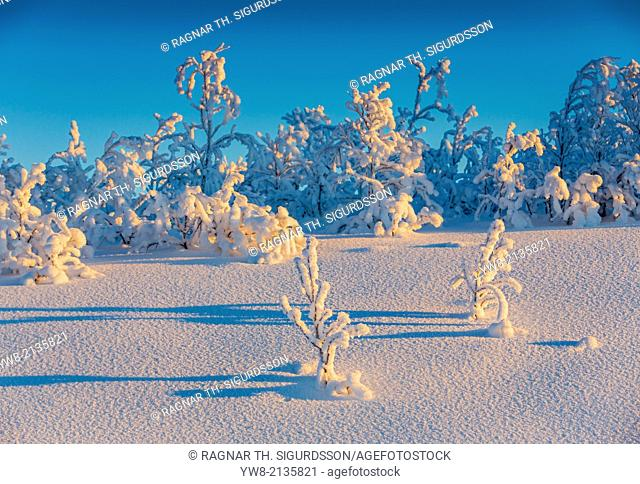 Snow crystals on trees in winter, Lapland, Sweden