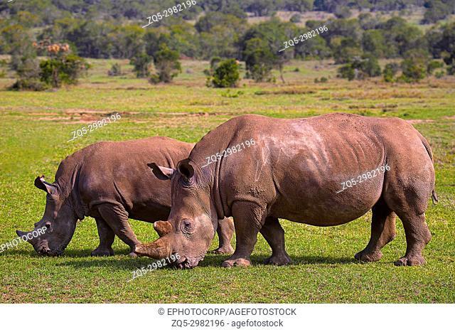 Africa Rhinoceros, Kenya, Africa