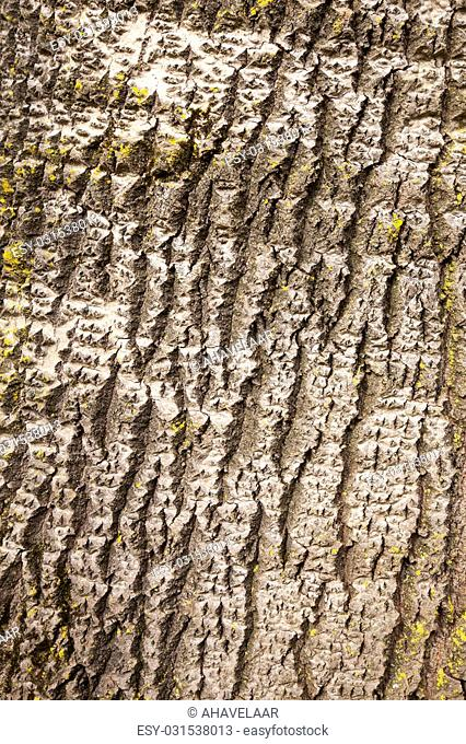 bark of white poplar in closeup