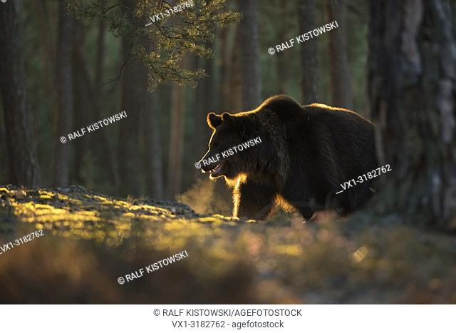 European Brown Bear ( Ursus arctos ) in a pine forest, first morning light, atmospheric backlight, visible breath puff
