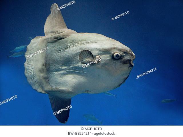 ocean sunfish (Mola mola), heaviest known bony fish in the world