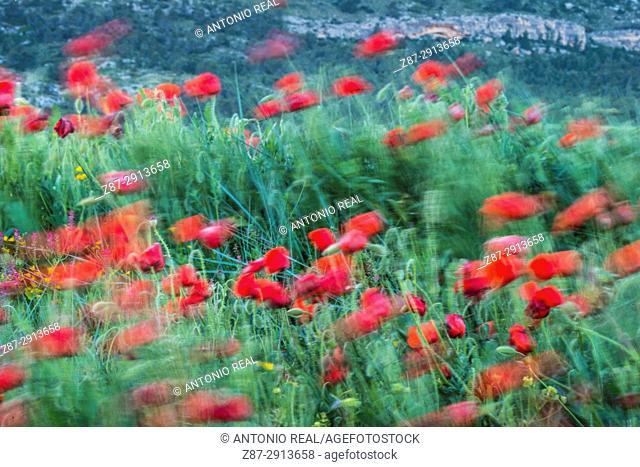 Poppies (Papaver rhoeas). Almansa. Albacete. Spain