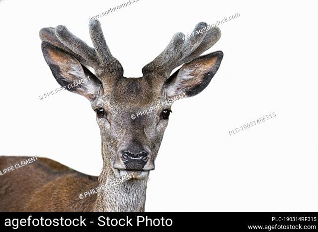 Close up of red deer stag (Cervus elaphus) with antlers covered in velvet in spring against white background