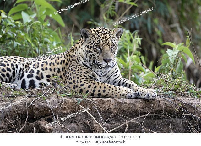 Jaguar (Panthera onca), adult lying on riverbank, Pantanal, Mato Grosso, Brazil