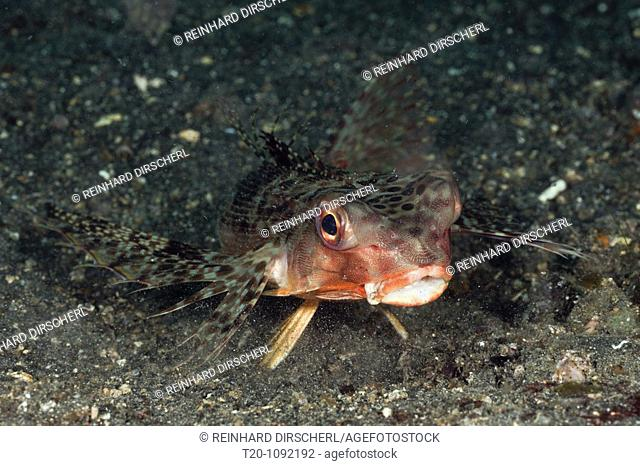 Flying Gurnard, Dactyloptena orientalis, Lembeh Strait, North Sulawesi, Indonesia