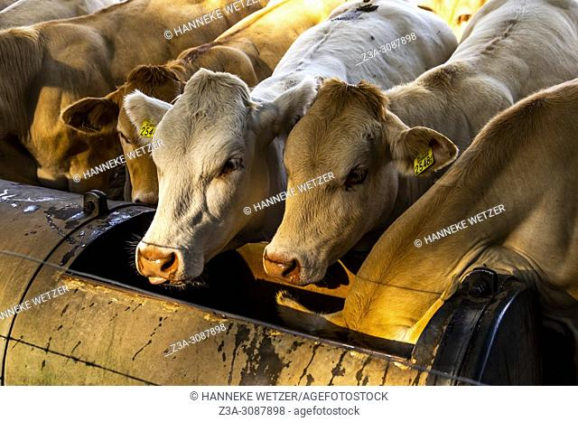 Dutch cows eating from a trough in a meadow in Berg en Dal, Netherlands