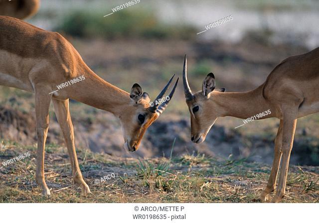 Impalas, males, fighting, Chobe, national, park, Botswana,Aepyceros, melampus