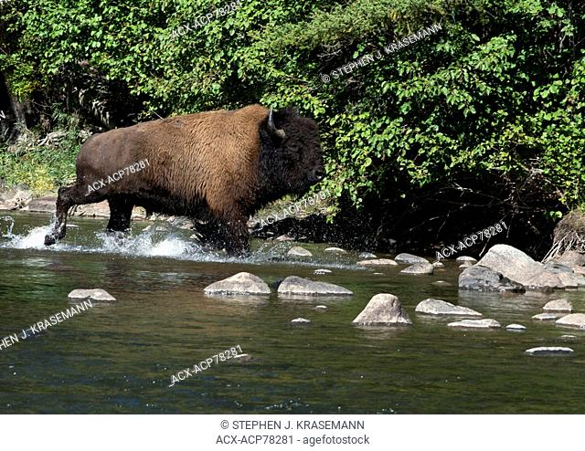 American Bison bull (Bison bison) crossing stream, Yellowstone Nat'l Park, WY, USA