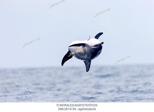Sri Lanka, Northwest Coast of Sri Lanka, Kalpitiya, Spinner dolphin (Stenella longirostris)