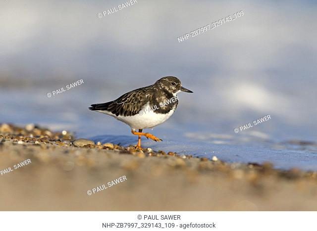 Ruddy Turnstone (Arenaria interpres) winter plumage adult, walking on shoreline, Horsey, Norfolk, December