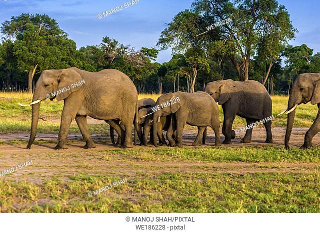 African Elephant herd walking to the marsh early morning. Masai Mara National Reserve, Kenya